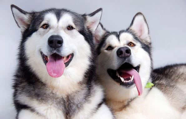 Picture language, dogs, pair, friends
