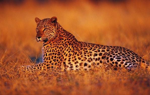Picture sunset, stay, Leopard, the evening, Savannah, Africa
