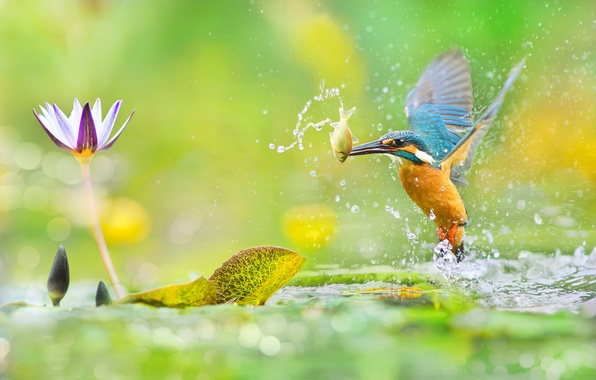 Picture greens, flower, leaves, water, macro, squirt, glare, bird, fish, photographer, Taiwan, bokeh, mining, Kingfisher, colorful, …