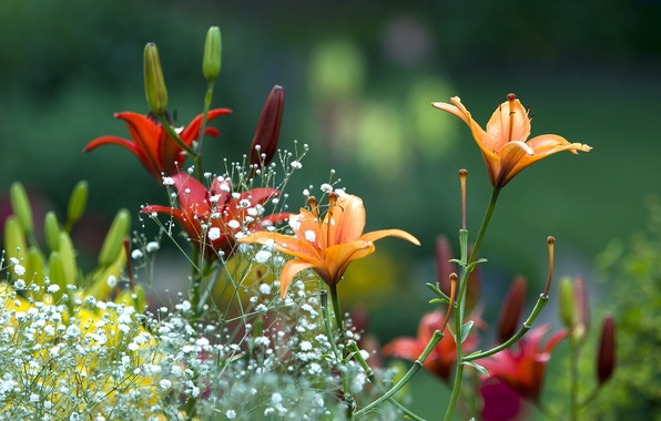 Picture summer, flowers, Lily, Spring, garden, beautiful, summer, flowers, beautiful, Spring, garden, lilies