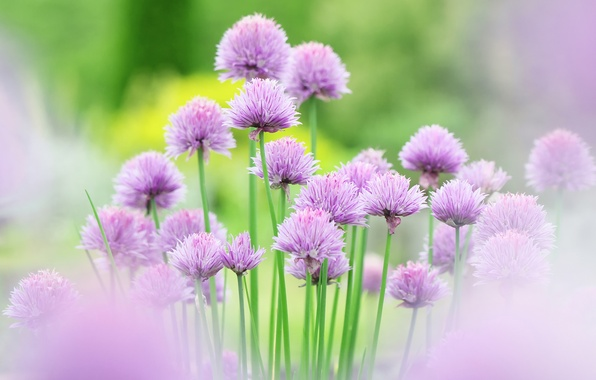 Picture flowers, pink, flower, Chives