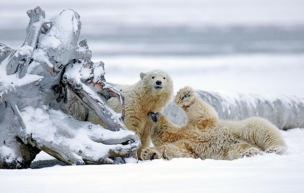 wallpaper winter snow bears alaska snag bears polar. Black Bedroom Furniture Sets. Home Design Ideas