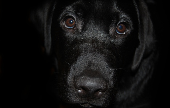 Picture black, dog, Labrador
