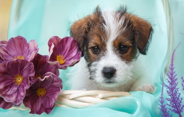 Picture flowers, dog, puppy, face, Jack Russell Terrier