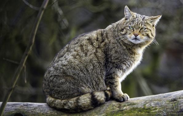 Picture predator, gloomy, wild cat