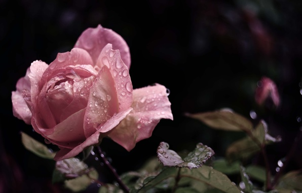 Picture flower, leaves, water, drops, macro, Rosa, rain, pink, rose, beauty, petals, Bud
