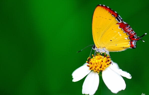 Picture white, flower, macro, butterfly, green background
