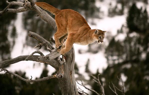 Picture tree, jump, predator, Puma