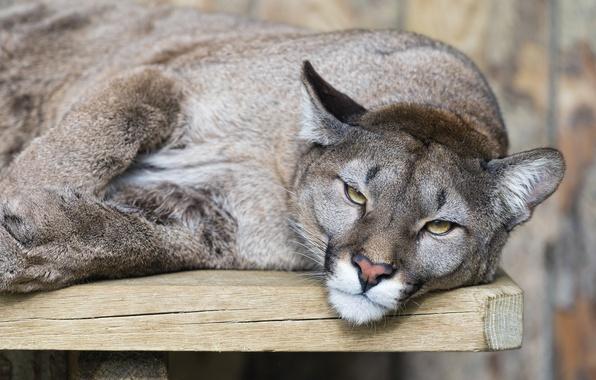 Picture cat, look, Puma, mountain lion, Cougar, ©Tambako The Jaguar