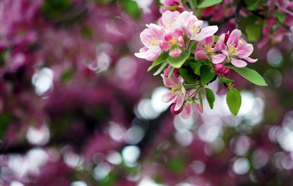 Picture flowers, color, branch, spring, may, Apple, bokeh