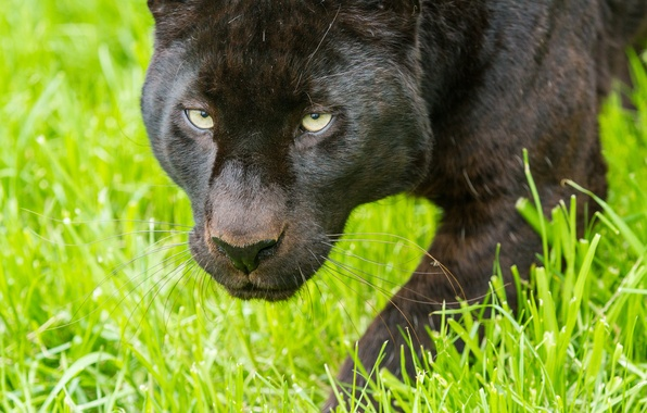 Picture cat, grass, look, face, Panther, leopard