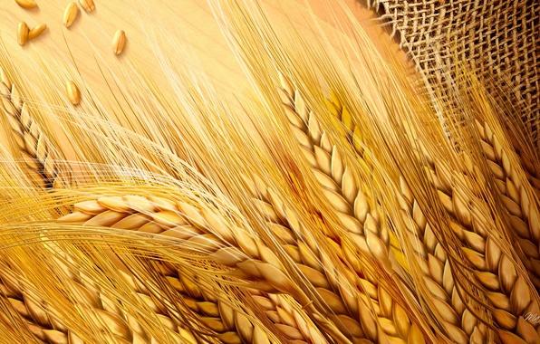 Picture field, harvest, ears, burlap
