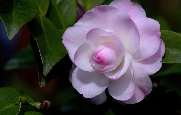 Picture leaves, macro, petals, Bud, Camellia