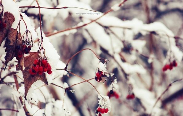 Picture winter, macro, snow, nature, Kalina