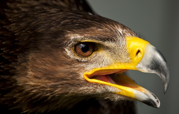 Picture bird, eagle, predator, head, feathers, beak