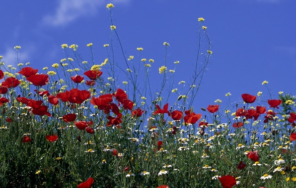Picture field, the sky, the sun, flowers, Maki, chamomile