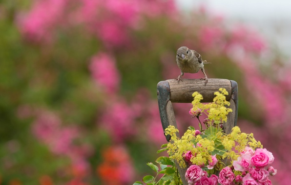 Picture flowers, bird, roses, Sparrow, arm, bokeh