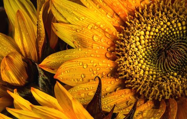 Picture drops, macro, yellow, sunflower, petals