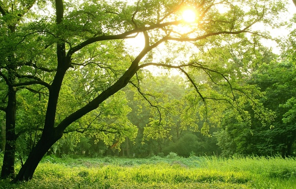 Picture green, light, forest, trees, sun