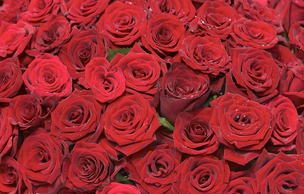 Picture red, background, roses, bouquet, placer, buds