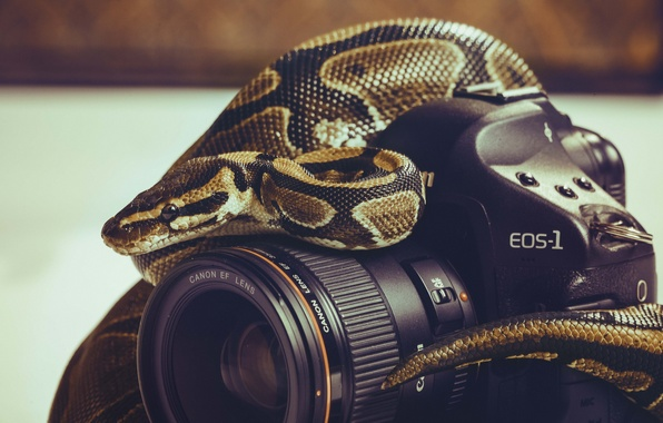Picture background, the camera, Python, canon