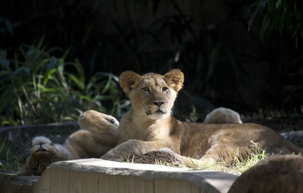 Picture stay, family, pair, wild cats, the cubs, zoo, cubs