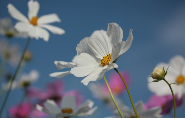 Picture summer, the sky, flowers, nature, petals, flowering, kosmeya