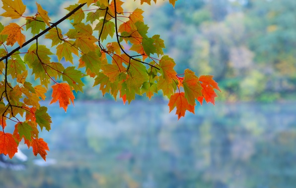 Picture leaves, background, branch, maple, autumn