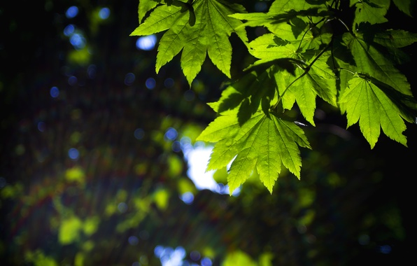 Picture leaves, macro, green, background, widescreen, Wallpaper, blur, leaf, wallpaper, form, leaves, widescreen, background, full screen, …