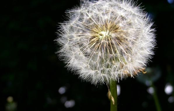 Picture dandelion, fluff