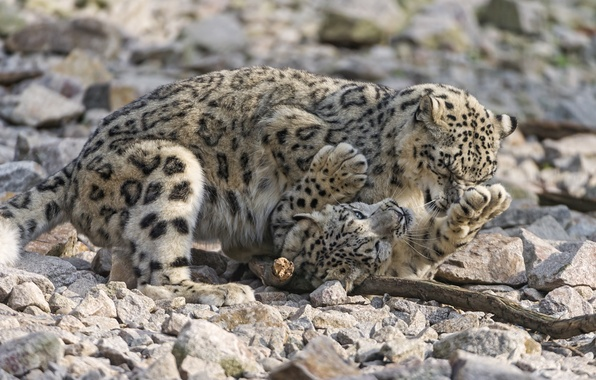 Picture cats, stones, the game, pair, IRBIS, snow leopard