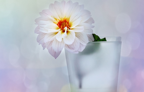 Picture white, flower, glare, background, vase, Dahlia
