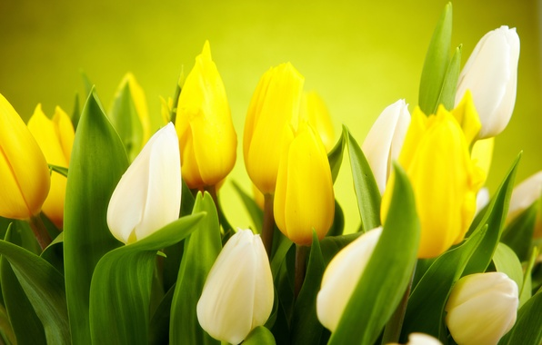 Picture leaves, flowers, green, background, spring, yellow, tulips, white, buds