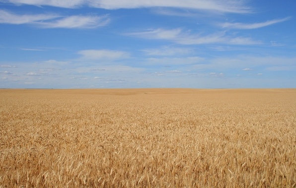 Picture field, the sky, background, grain, calm