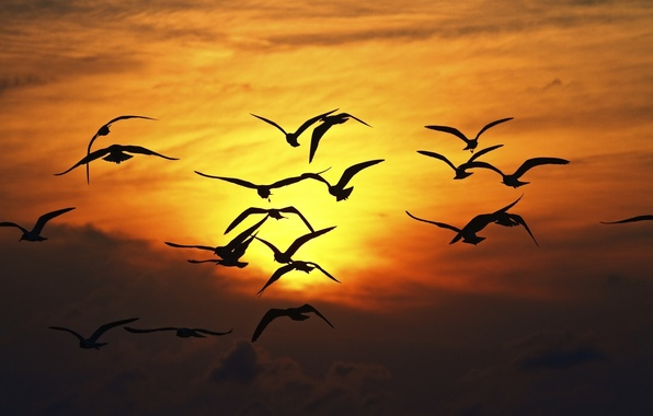 Picture the sky, freedom, the sun, flight, sunset, birds, nature, background, widescreen, Wallpaper, seagulls, wings, Seagull, …