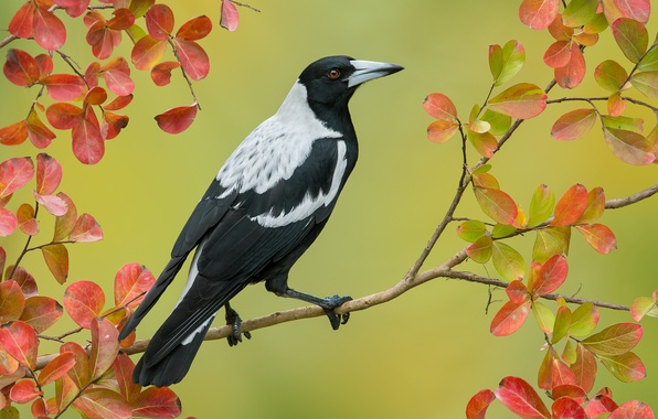 Picture autumn, leaves, bird, branch, Australian magpie, Cracticus tibicen