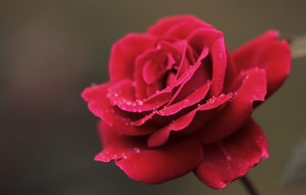Picture flower, drops, macro, Rosa, rose, petals, red