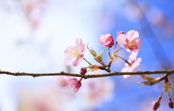 Picture flowers, cherry, tree, branch, spring, flowering