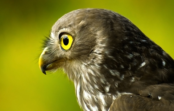 Picture bird, head, Falcon, green background, tail