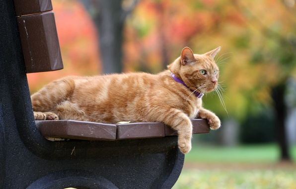 Picture autumn, cat, bench, red, bokeh, red cat
