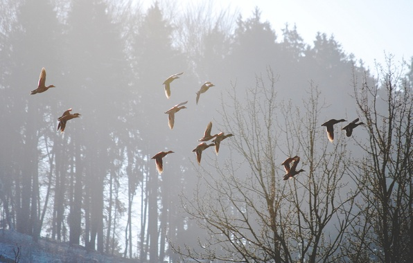 Picture birds, nature, fog, spring, morning