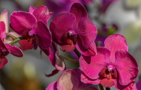 Picture macro, branch, Orchid, Phalaenopsis