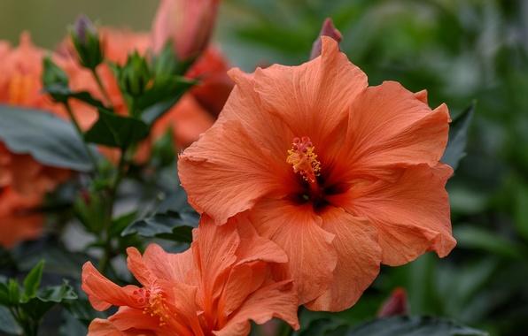 Picture macro, petals, hibiscus