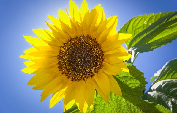 Picture the sky, leaves, macro, sunflower, petals