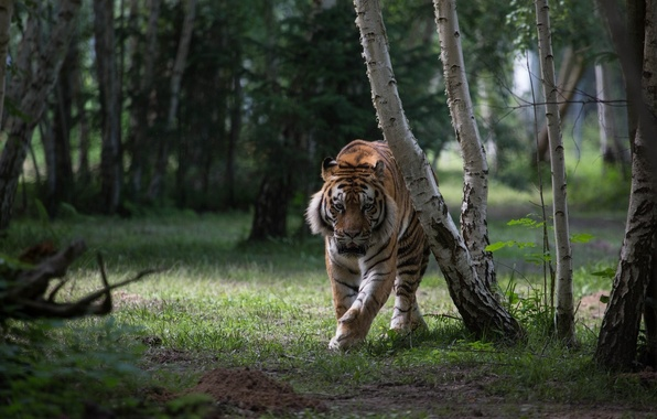 Picture forest, tiger, predator, wild cat