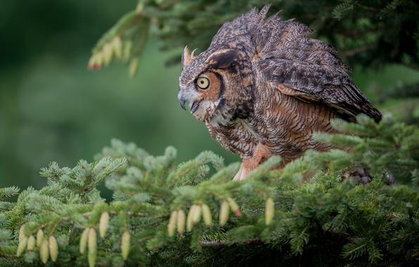 Picture owl, bird, spruce, branch, bumps, owl, Virgin Filin