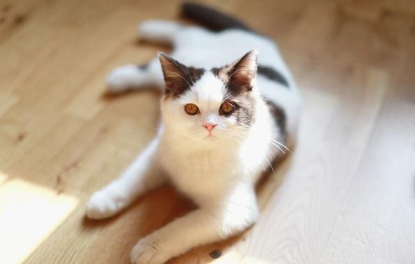 Picture cat, look, wool, floor, lies, looks