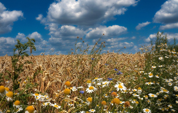 Picture wheat, field, summer, flowers, chamomile, cornflowers