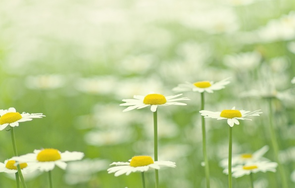 Picture greens, summer, grass, macro, flowers, nature, glade, color, chamomile, plants, petals, white, bright, flowering