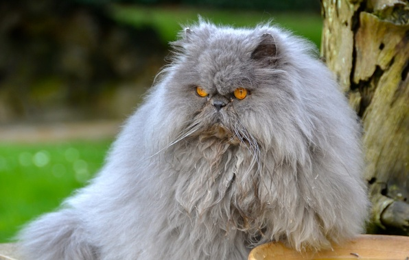 Picture cat, fluffy, pers, Persian cat, important